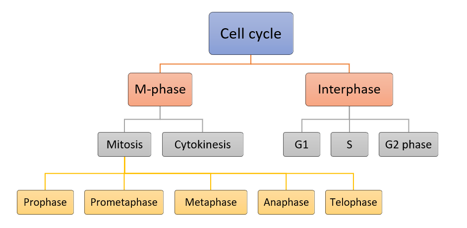 CELL CYCLE: MITOSIS, MEIOSIS, REGULATION
